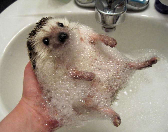 Nuôi nhím kiểng phải thường xuyên tắm rửa, vệ sinh sạch sẽ. Ảnh minh họa