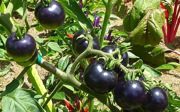 Trồng cà chua đen tại nhà sẽ mang lại nguồn thực phẩm bổ dưỡng, thơm ngon cho gia đình. Ảnh minh họa