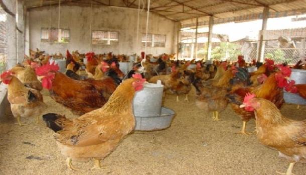 Chăn nuôi gà tam hoàng cần phải thường xuyên khử trùng chuồng trại để tránh dịch bệnh. Ảnh minh họa