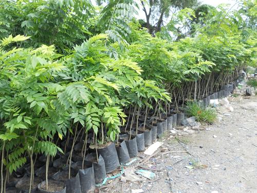Kỹ thuật trồng cây sưa có thể bằng cách gieo hạt hoặc bầu cây. Ảnh minh họa