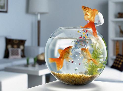 Kỹ thuật nuôi cá cảnh trong bình thủy tinh cần lựa chọn cá phù hợp. Ảnh minh họa