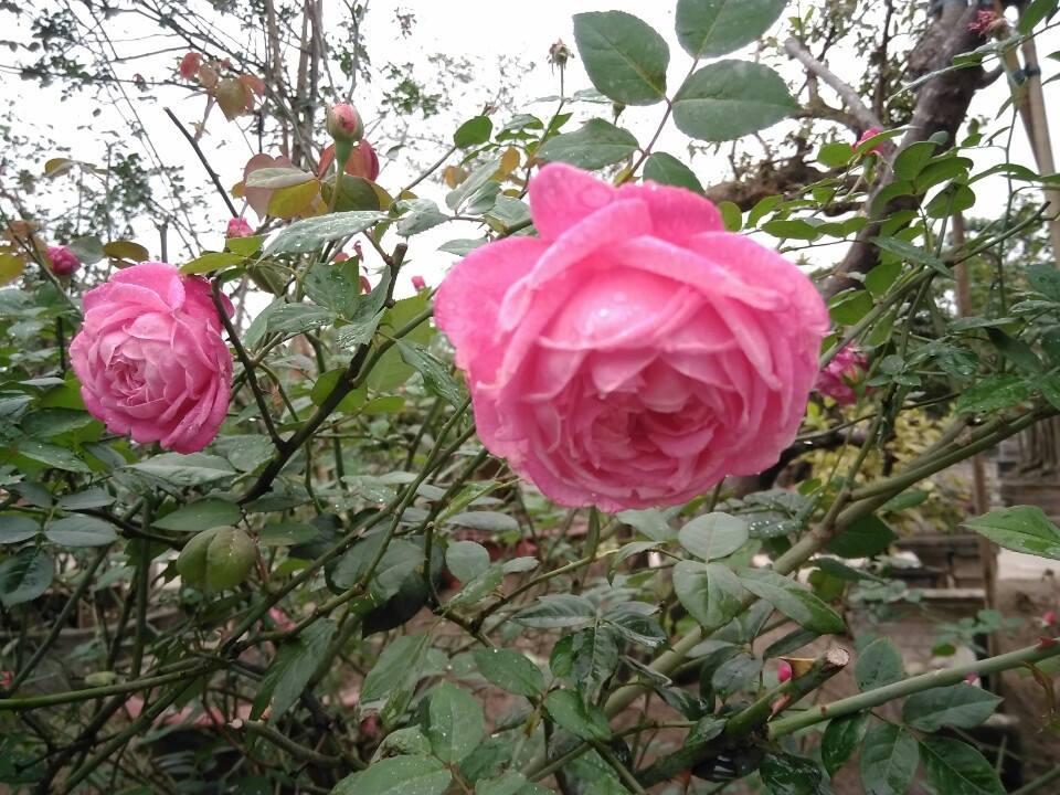 Kỹ thuật trồng hoa hồng cổ Sapa không hề khó. Ảnh minh họa