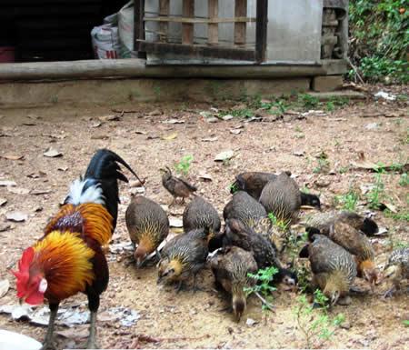 Kỹ thuật nuôi và chăm sóc gà rừng phải thường xuyên phòng bệnh mới đem lại hiệu quả như mong muốn. Ảnh minh họa