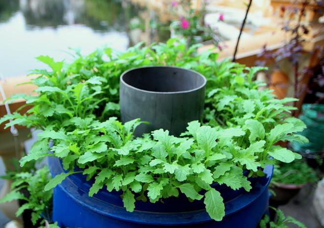 Kỹ thuật trồng rau sạch bằng ống nhựa cả nhà ăn không xuể - ảnh 3