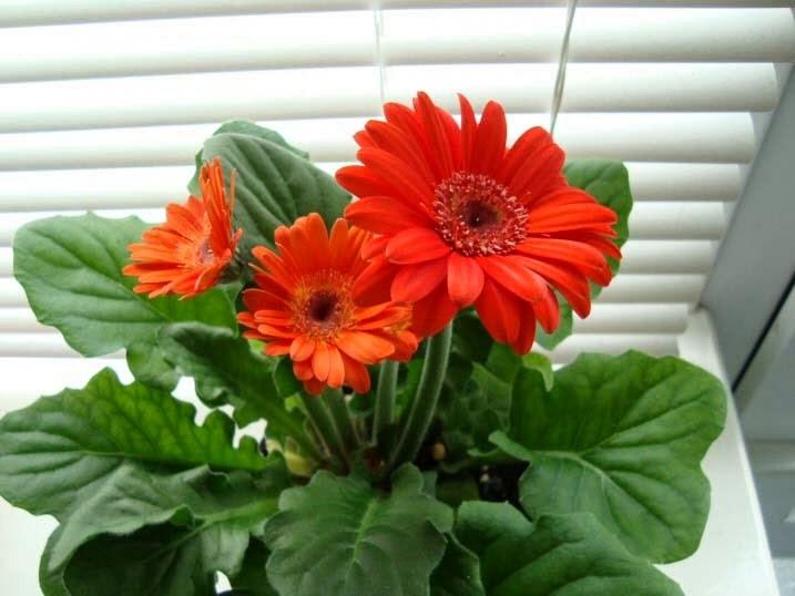Kỹ thuật trồng hoa đồng tiền lùn cần chăm sóc cẩn thận. Ảnh minh họa
