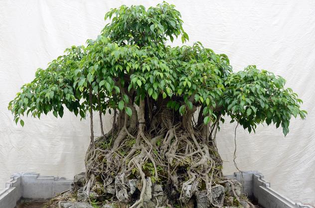 Kỹ thuật trồng cây Sanh và cách tạo thế đẹp mê mẩn hút mọi ánh nhìn - ảnh 1