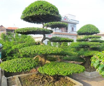 Kỹ thuật trồng cây Sanh và cách tạo thế đẹp mê mẩn hút mọi ánh nhìn - ảnh 2