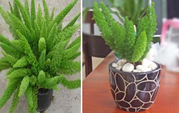 Kỹ thuật trồng cây Tùng đuôi chồn ngắm mãi không chán - ảnh 1