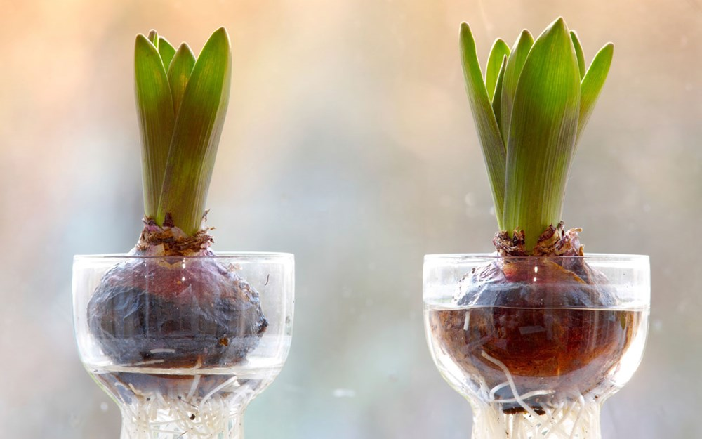 Kỹ thuật trồng cây thủy canh trong bình thủy tinh đẹp hút hồn - ảnh 1