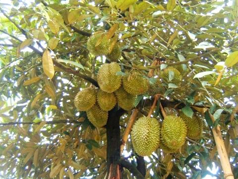 Kỹ thuật trồng cây sầu riêng hạt lép cũng cần phải phòng bệnh hiệu quả mới cho năng suất cao. Ảnh minh họa