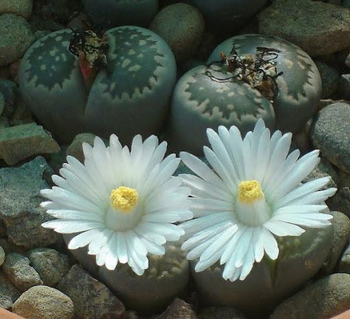 Kỹ thuật trồng cây hoa Thạch lan cho bàn làm việc đẹp ngỡ ngàng - ảnh 3