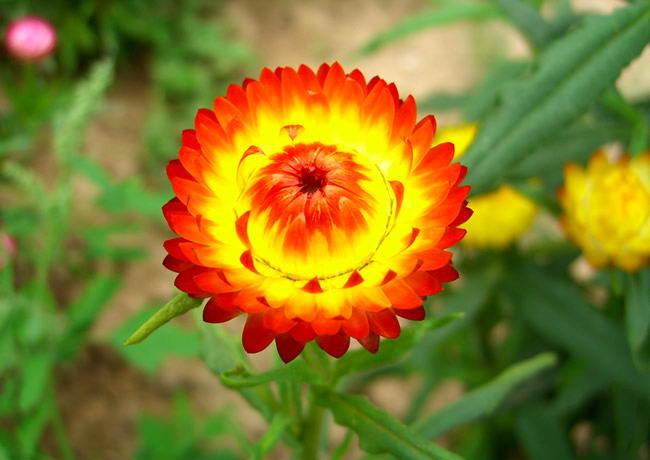 Kỹ thuật trồng cây hoa Cúc bất tử mang nhiều ý nghĩa tốt đẹp cho chủ nhân. Ảnh minh họa