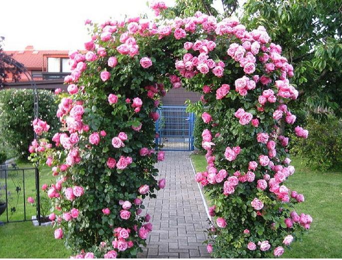 Kỹ thuật trồng hoa hồng leo Thái có thể áp dụng ngoài cổng, ban công hay leo tường nhà đều rất nổi bật. Ảnh minh họa