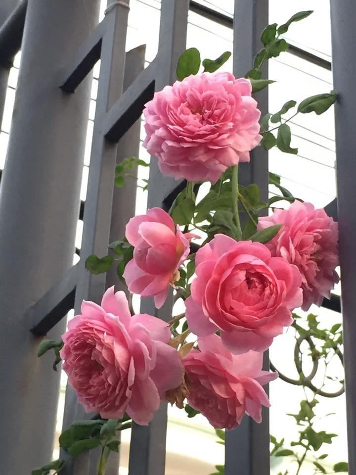 Nếu biết cách áp dụng kỹ thuật trồng cây và chăm sóc tốt hoa hồng leo Thái sẽ nở rất to. Ảnh minh họa