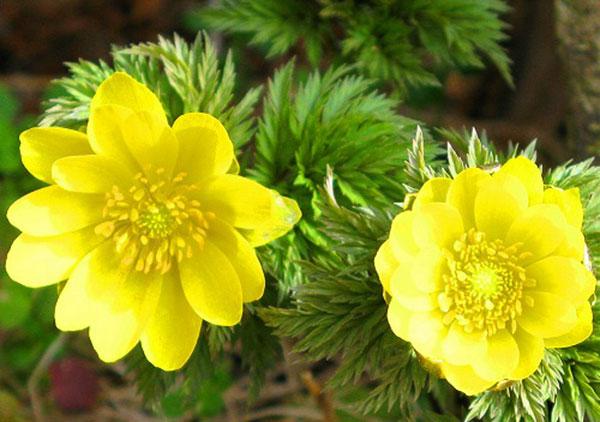 Cây hoa cỏ phúc thọ có nhiều màu sắc đẹp nếu biết áp dụng kỹ thuật trồng cây đúng cách. Ảnh minh họa