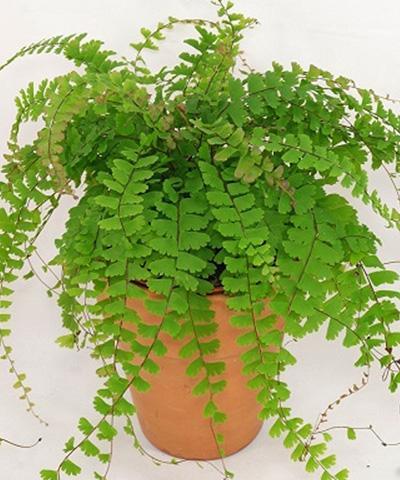 Kỹ thuật trồng cây tóc thần vệ nữ làm sạch không khí trong nhà - ảnh 1