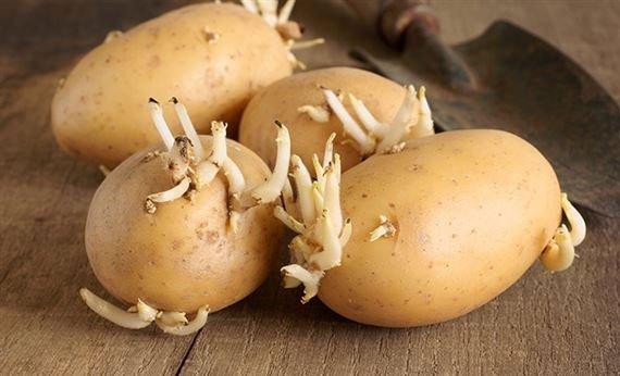Khoai tây mọc mẩm cực độc cần vứt bỏ ngay. Ảnh minh họa