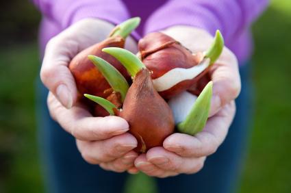 Kỹ thuật trồng hoa Tulip trong chậu cho không gian nhà ngập tràn sắc màu - ảnh 2