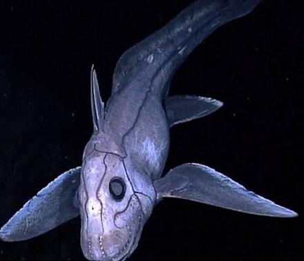 Cá mập ma bí ẩn nhất đại dương. Ảnh: Trí Thức Trẻ