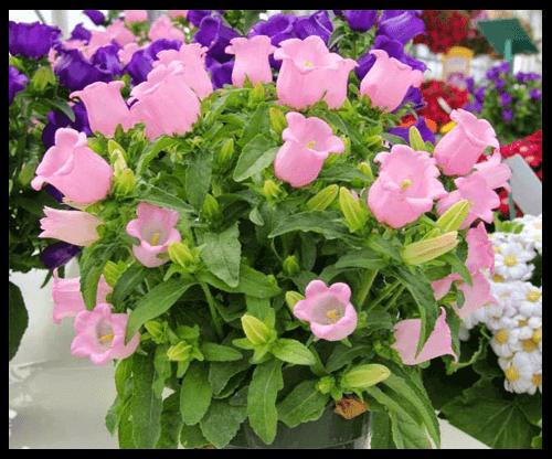 Kỹ thuật trồng cây hoa Chuông tuy hơi mất thời gian chăm sóc nhưng lại đem đến một vẻ đẹp quyến rũ cho ban công, vườn nhà hay cửa sổ...Ảnh minh họa