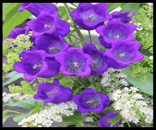 Kỹ thuật trồng cây hoa Chuông dù hơi phức tạp nhưng mang đến vẻ đẹp dịu dàng. Ảnh minh họa