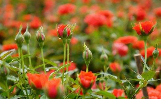 Để có được những chậu hoa Hồng tuyệt đẹp cần có kỹ thuật trồng cây và chăm sóc tỉ mỉ. Ảnh minh họa