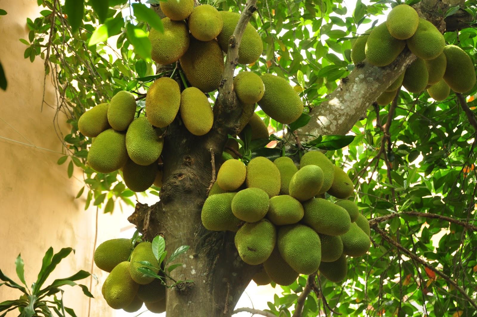 Kỹ thuật trồng cây Mít tứ quý mang lại kinh tế cao cho gia đình. Ảnh minh họa