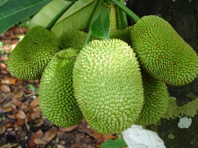 Kỹ Thuật Trồng cây Mít tứ quý cho quả ngọt lịm, mang lại kinh tế cao - ảnh 2