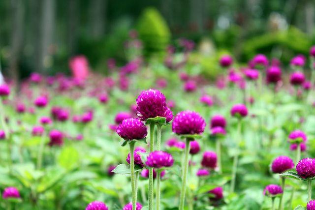 Kỹ thuật trồng hoa cúc Bách Nhật cho vườn nhà luôn rực rỡ sắc hương - ảnh 1