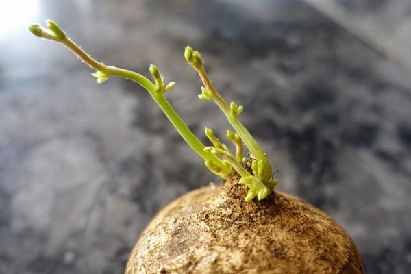 Kỹ thuật trồng củ đậu bằng chậu tại nhà đơn giản, ăn giải nhiệt và bổ dưỡng  - ảnh 1
