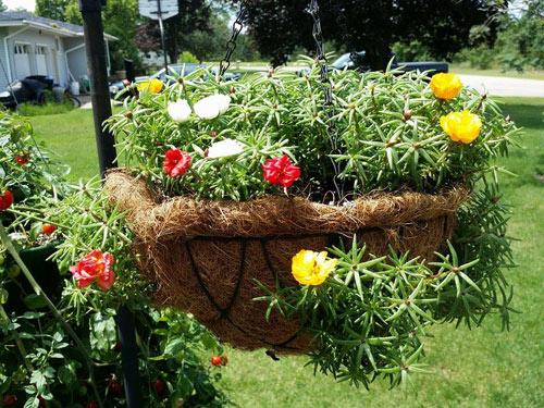 Kỹ thuật trồng và chăm sóc hoa mười giờ không mất quá nhiều thời gian nhưng lại cho hoa nở cực đẹp. Ảnh minh họa