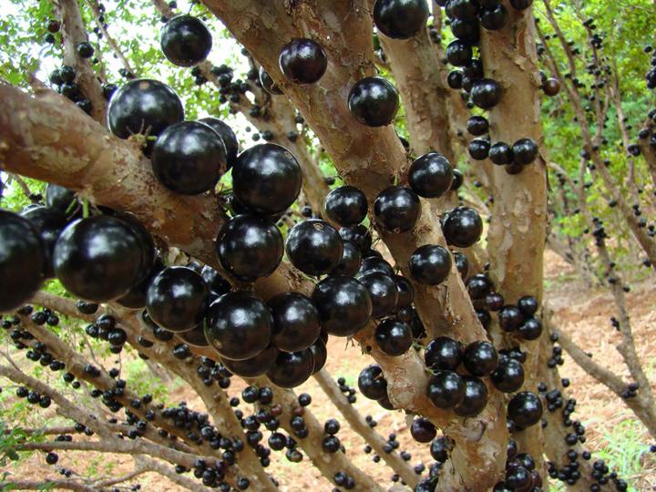 Kỹ thuật trồng cây nho thân gỗ phải đảm bảo đúng kỹ thuật và chăm sóc khoa học. Ảnh minh họa