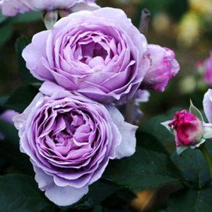 ỹ thuật trồng cây hoa hồng bụi Thạch lam chỉ cần áp dụng đúng từ chọn giống cho tới phòng bệnh cây sẽ cho nhiều hoa to, đẹp. Ảnh minh họa