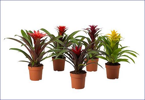 Kỹ thuật trồng cây dứa nên cần chăm sóc tốt cây sẽ nhanh nở hoa. Ảnh minh họa