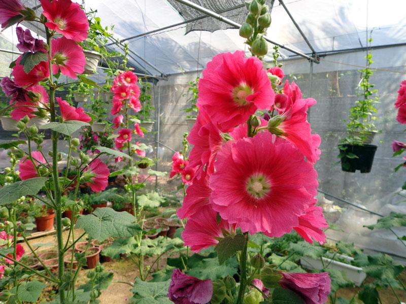 Để cây Thục Quỳ ra hoa nhiều cần áp dụng đúng các bước kỹ thuật trồng cây và chăm sóc. Ảnh minh họa