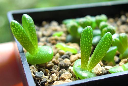 Kỹ thuật trồng cây sen đá tai thỏ để bàn cực đáng yêu cho cô nàng công sở - ảnh 1