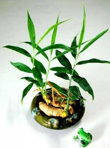 Kỹ thuật trồng gừng mini cần chú ý thay nước thường xuyên. Ảnh minh họa