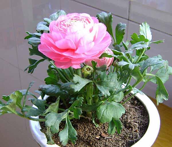 Cách chăm sóc hoa Mao lương chỉ cần chú ý một chút ở thời kỳ đầu trồng. Ảnh minh họa
