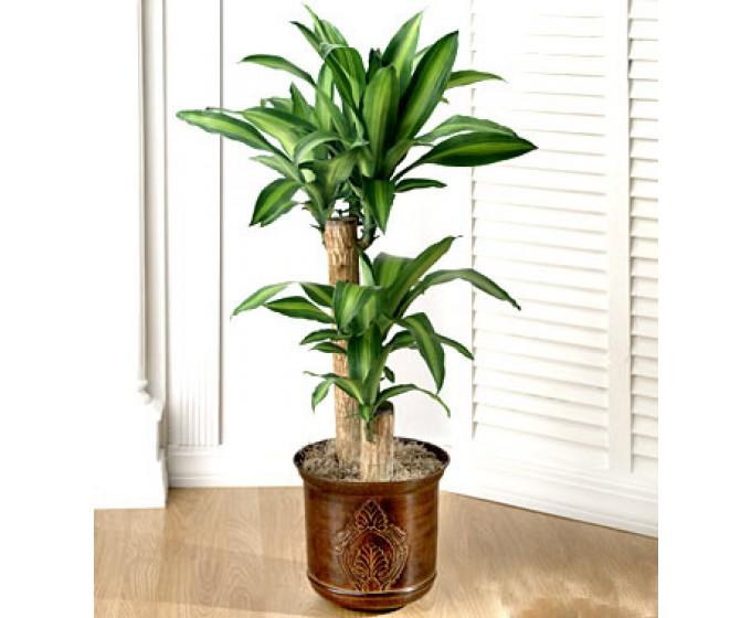 Kỹ thuật trồng cây Thiết mộc lan còn có tác dụng hút khí độc trong phòng. Ảnh minh họa
