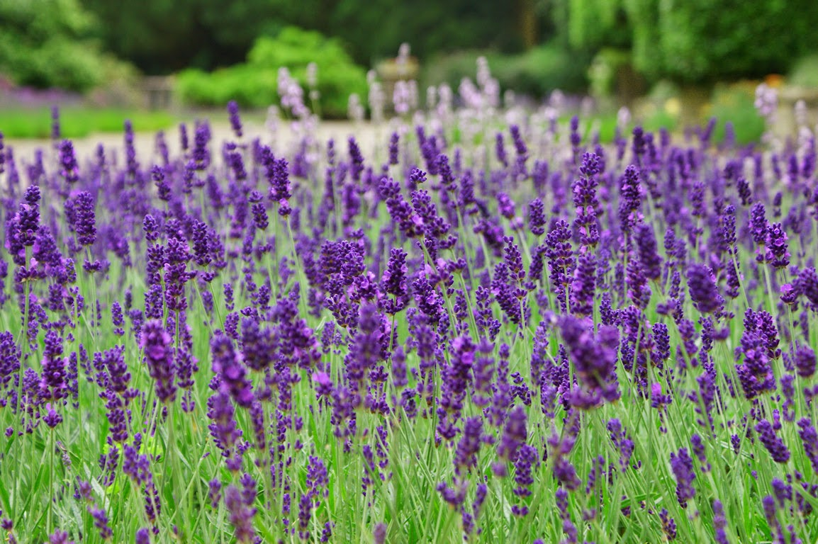 Kỹ thuật trồng cây hoa oải hương đặc biệt chú ý tới nhiệt độ thời tiết thích hợp. Ảnh minh họa