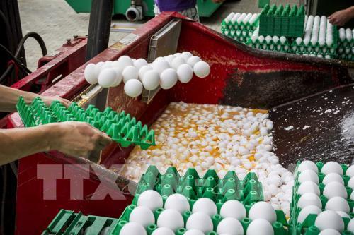 Trứng nhiễm thuốc trừ sâu đang lan rộng ra nhiều nước châu Âu. Ảnh: TTXVN