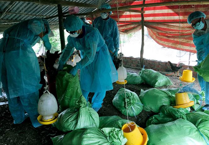 Dịch cúm gia cầm H5N1 tại Bạc Liêu. Ảnh: Thanh Niên