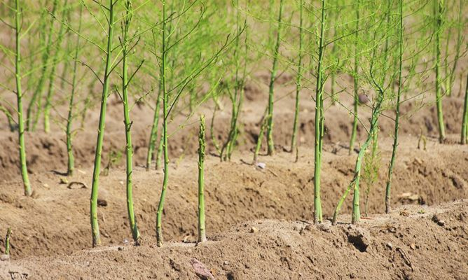 Kỹ thuật trồng cây măng tây cho hiệu quả cao, giàu cực nhanh - ảnh 1
