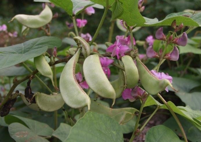 Cây đậu ván có thể trồng theo giàn xung quanh nhà, cho quả quanh năm. Ảnh minh họa