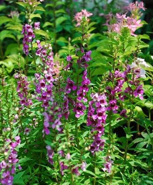 kỹ thuật trồng cây hoa Ngọc hân Ngọc hân mang vẻ đẹp dịu dàng thanh thoát cho hiên nhà - ảnh 7