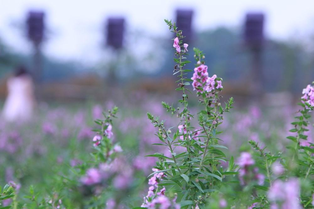 kỹ thuật trồng cây hoa Ngọc hân Ngọc hân mang vẻ đẹp dịu dàng thanh thoát cho hiên nhà - ảnh 6