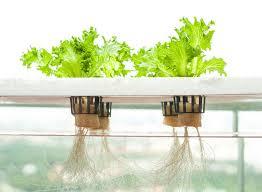 Kỹ thuật trồng rau thủy canh tại nhà đơn giản bất ngờ, rau ăn quanh năm không hết - ảnh 2