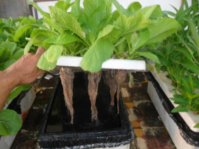 Kỹ thuật trồng rau thủy canh tại nhà đơn giản bất ngờ, rau ăn quanh năm không hết