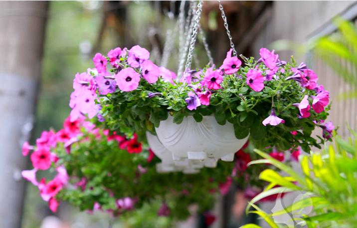 Cách chăm sóc hoa treo chỉ cần để ý tới khâu tưới nước, cắt tỉa. Ảnh minh họa
