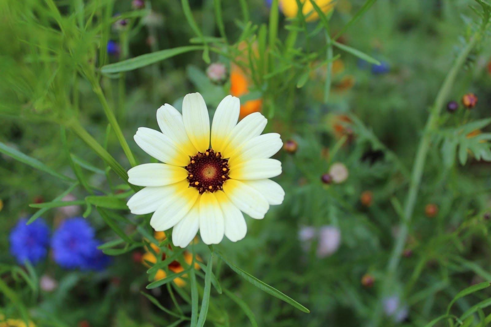 Kỹ thuật trồng hoa Cúc dại ngay tại nhà vừa làm cảnh vừa là cây dược liệu chữa bệnh. Ảnh minh họa